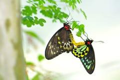 Steinhaufen Birdwing Basisrecheneinheitsanschluß Lizenzfreie Stockfotos