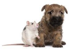 Steinhaufen-Terrier-Welpe, 6 Wochen alt und eine Ratte Lizenzfreie Stockfotos