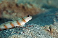 Steinitz' shrimpgoby Royalty Free Stock Photos