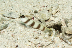 Steinitz shrimpgoby with shrimp Royalty Free Stock Photography