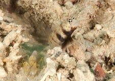 Steinitzs Shrimpgoby Amblyeleotris Steinitzi i garnele - niewidomy pracownik zdjęcia stock