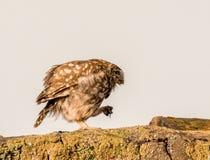 Steinkauz, der entlang auf den Prowl geht lizenzfreie stockfotos