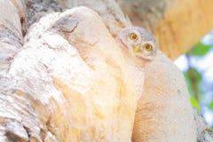 Steinkauz im Baumnaturwaldvogel Lizenzfreie Stockbilder