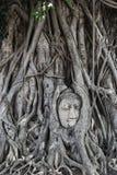 Steinkopf Buddha in der Baumwurzel Stockbild