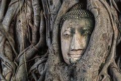 Steinkopf Buddha in der Baumwurzel Stockbilder