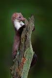 Steinmarder, Detailporträt des Waldtieres Kleines Raubsitzen auf dem Baumstamm mit grünem Moos in der Szene der Waldwild lebenden Lizenzfreie Stockfotos