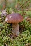 Steinpilz im Wald Lizenzfreie Stockfotografie