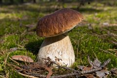 Steinpilzpilz Pilze im Moos im Wald Stockfotos