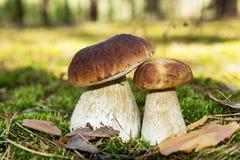 Steinpilzpilz Zwei Pilze im Moos im Wald Stockfotografie