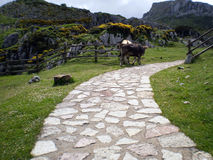 Steinplasterung und Kühe in den Wiesen Lizenzfreie Stockfotos