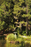 Steinschüssel Blumen, die im Wald im Teich stehen Lizenzfreie Stockbilder