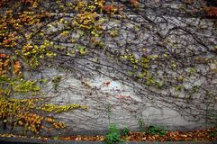 Steinwand bedeckt mit Rebbeschaffenheit Lizenzfreie Stockfotos