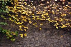 Steinwand bedeckt mit Rebbeschaffenheit Stockfotos