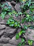Steinwand mit Efeu Stockfotografie