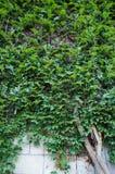 Steinwand mit grünem Efeu Stockfoto