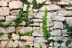 Steinwand mit grünem Efeu Stockfotos