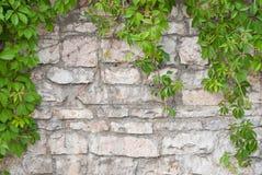 Steinwand mit grünem Efeuhintergrund Lizenzfreie Stockfotografie