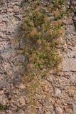 Steinwand mit Grünpflanze Lizenzfreies Stockfoto