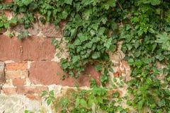 Steinzaun mit Kriechpflanze Stockbilder