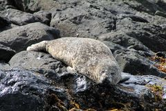 Stejneger's seals Phoca vitulina Royalty Free Stock Photos