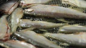 Steka fisken i pannan lager videofilmer