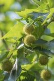 Stekelige ballen van gegroepeerd zaad op de boom van platanusacerifolia stock afbeeldingen