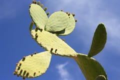 Stekelige Cactus. Royalty-vrije Stock Afbeeldingen