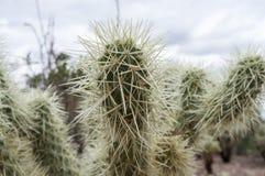 Stekelige Cactus Stock Fotografie