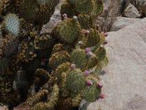 Stekelige peer in de woestijn Stock Afbeeldingen
