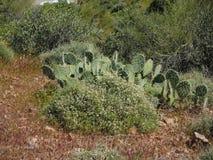 Stekelige Peer en Woestijnflora Stock Afbeelding