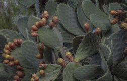 Stekelige peer in Sicilië royalty-vrije stock afbeeldingen