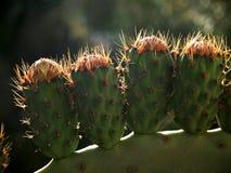 Stekelige peren op een rij Stock Foto