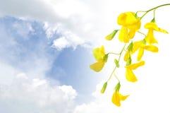 Stekelige sesban bloem Royalty-vrije Stock Fotografie