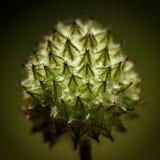 Stekelige, verwarde knop van een hoofd van bloemen Stock Fotografie