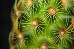 Stekels op een cactus stock foto