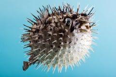 Stekelvarkenvissen Stock Foto's