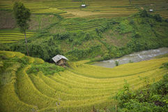 Stekte ris på Mu Cang Chai Royaltyfria Foton