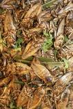 Stekte skalbaggar Fotografering för Bildbyråer