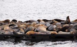 Stelarni Denni lwy ono robi przy Francuskim zatoczki Marina, na Vancouver wyspie, BC Obrazy Royalty Free