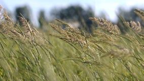Stelen van droog gras op een gebied bij zonsondergang stock video
