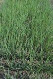 Stelen van groene uien Stock Foto's
