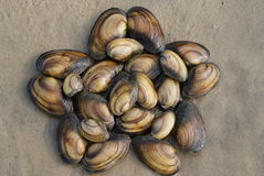 Stella composta di coperture del mollusco Fotografie Stock Libere da Diritti