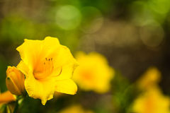 Stella d'oro daylily in garden, close up Royalty Free Stock Image