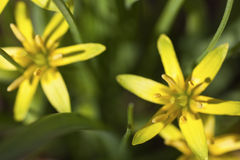 Stella-de-bethlehem giallo Fotografia Stock
