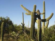 Stella del cactus del Saguaro Immagini Stock