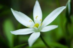 Stella del fiore di bethlehem Fotografie Stock