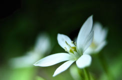 Stella del fiore di bethlehem Immagine Stock