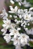 Stella del fiore di bethlehem Immagini Stock