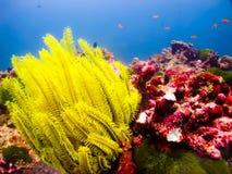 Stella del mar Giallo Fotografia Stock Libera da Diritti