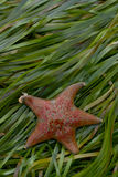 Stella del pipistrello rosso in eelgrass Miniata di Asterina Fotografia Stock Libera da Diritti